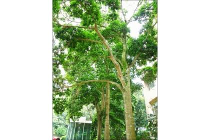 【自由時報】台灣梭羅木為本土特有樹種,可以長到十二至十五公尺,適合遮蔭。