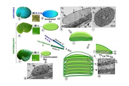 秋海棠葉片顏色與上表皮細胞中特殊葉綠體的關係。當一秋海棠植物具有 層狀體且其多層膜間距較窄時 (約小於90 奈米),葉片才會顯現虹光;否則葉子只呈綠色。圖:許秋容教授提供