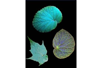 具繽紛絢麗虹光色彩的秋海棠葉片。圖:許秋容教授提供